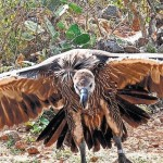 vultures - News Update 16th October 2015