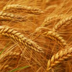blog-wheat