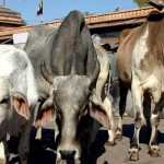 cow-generic_650x400_81444999346