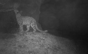 snow-leopard-sikkim-wwf_650x400_81453891458
