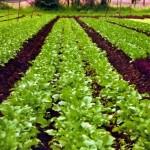 Organic-Farming-sikkim